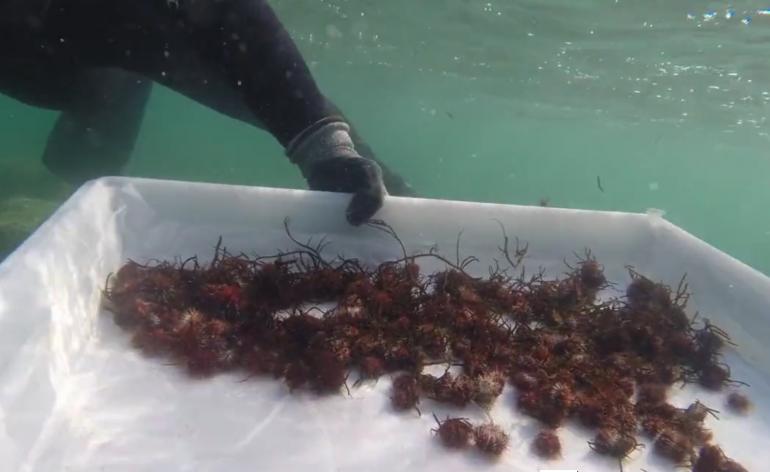 Hawaii ricci utilizzati per combattere una for Comprare un acquario