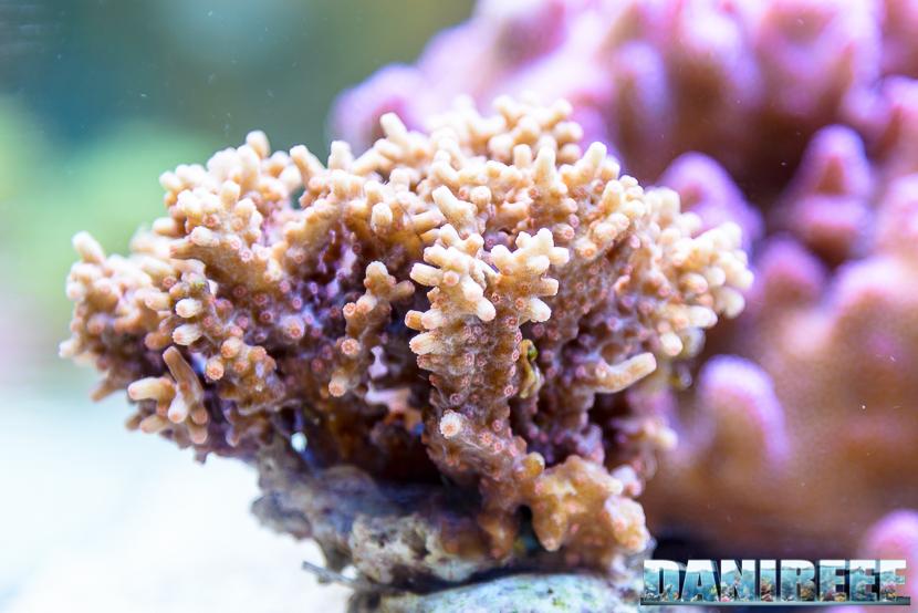2016_05 Interzoo Norimberga Korallen Zucht Coralli Acropora 10