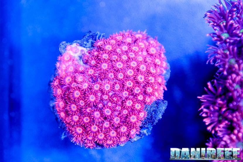 2016_05 Interzoo Norimberga whitecorals coralli alveopora 13