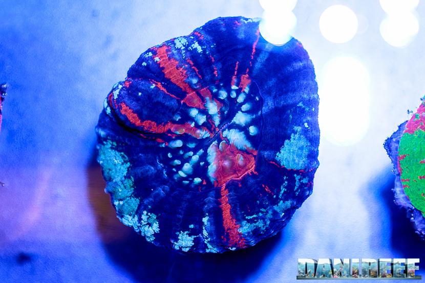 2016_05 Interzoo Norimberga whitecorals coralli scolymia 03