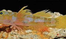 Scoperto il pesce Varicus lacerta (nome comune: Godzilla Goby)