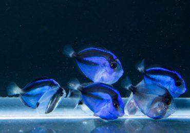 I primi bellissimi piccoli di Paracanthurus Hepatus sopravvissuti alla riproduzione in cattività
