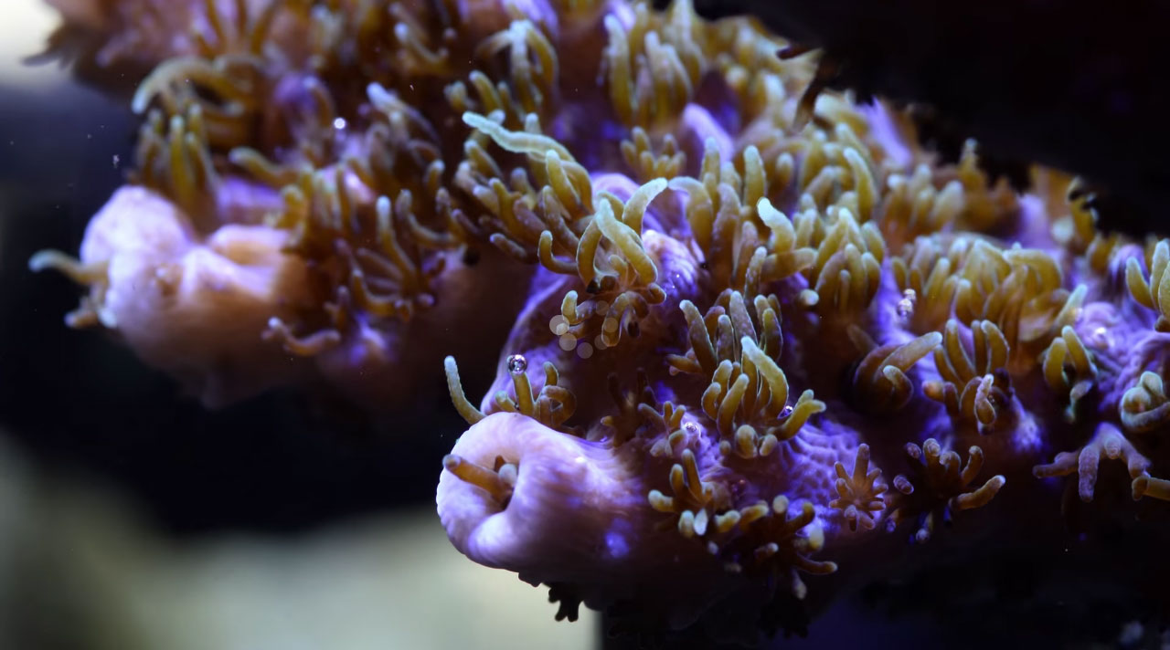 acropora-in-video-time-lapse-4k