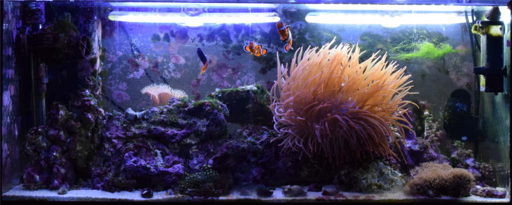 Nel confronto fra le due luci Tunze si nota come la bianca appare più luminosa ma al contempo aiuta la crescita delle alghe, anche le filamentose, ben visibili sulla destra.