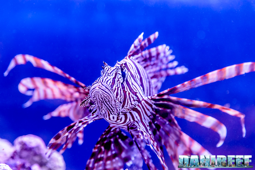201610-5-stelle-barriera-corallina-pesci-petsfestival-pterois-volitans-215-copyright-by-danireef
