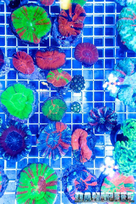 201610-coralli-lps-ondanomala-petsfestival-scolymia-146-copyright-by-danireef