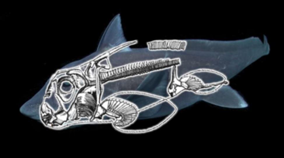 squalo chimera - scheletro