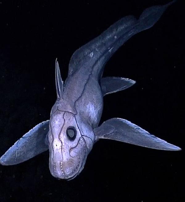 squalo chimera