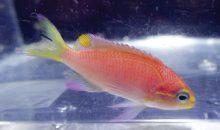 Tosanoides obama – quando un pesce riceve il nome di un presidente