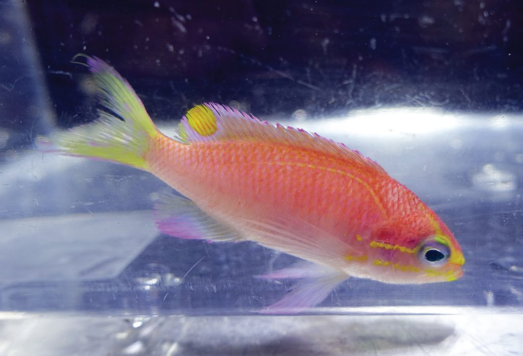 tosanoides-obama-anthias