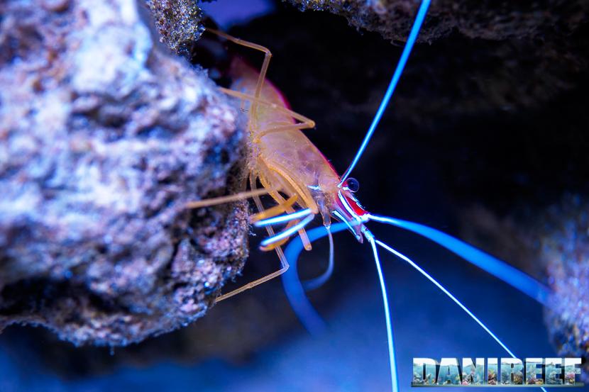 Il gamberetto Lysmata amboinensis. Un altro noto crostaceo ospite delle nostre vasche con in bella evidenza le proprie antenne tattili. Uno dei più famosi gamberetti pulitori