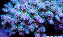 Sbiancamento dei coralli: lo studio globale che lo sta analizzando