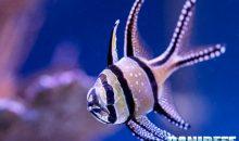 Pterapogon kauderni – l'unico pesce che tutti possono riprodurre