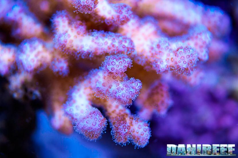 Coralli sps. Per creare il loro scheletro calcareo è fondamentale una giusta quantità di calcio e magnesio.