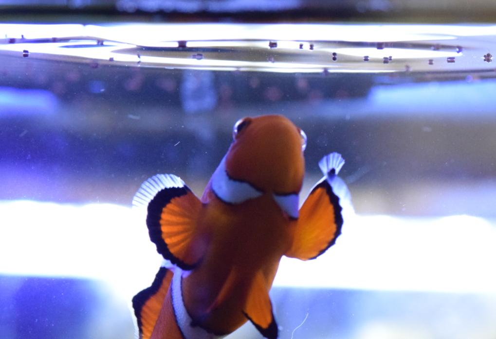 Pesce pagliaccio, Amphiprion ocellaris, mangia dalla superficie