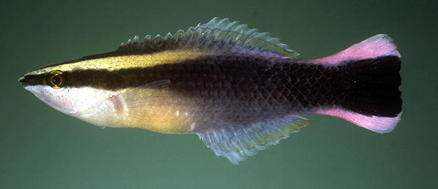 Labroides phthirophagus