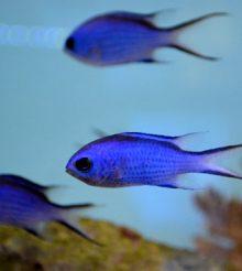 Successo per il New England Aquarium: riproduzione in cattività di Chromis cyanea