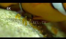 Ecco come vengono deposte le uova dei pesci pagliaccio – video in 4K