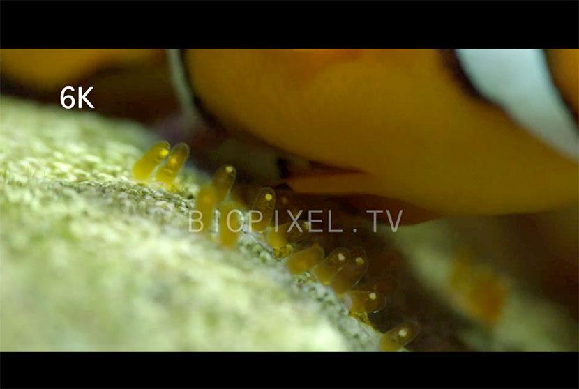 Deposizione dei pesci pagliaccio in 4K