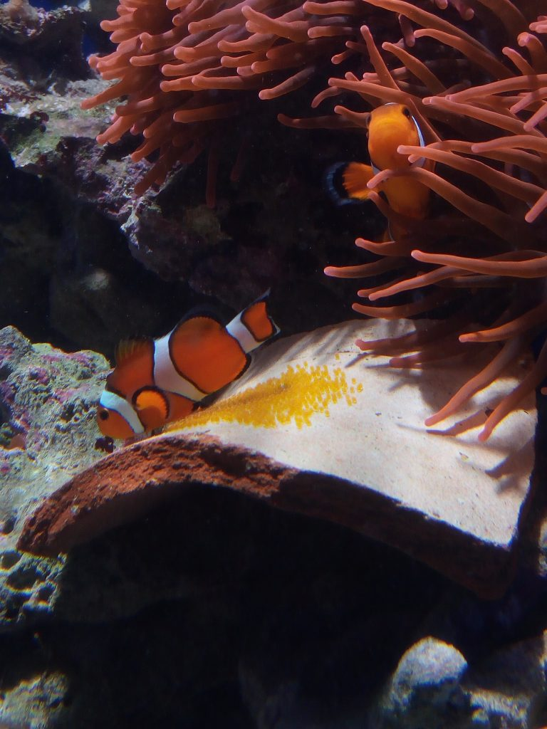 Amphiprion ocellaris reproduction at Jesolo Sea Life