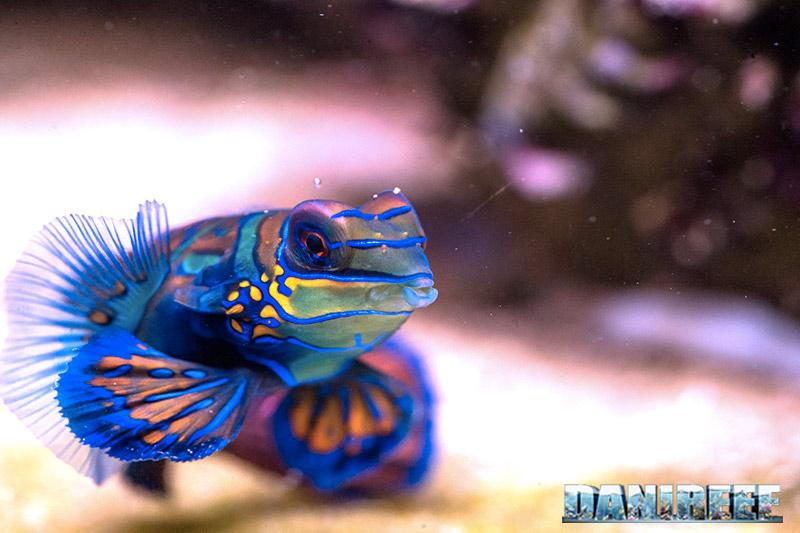 Synchiropus splendidus in acquario: un divoratore di zooplancton