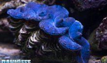 Lumache Pyramidellidae – le killer delle Tridacne – come debellarle