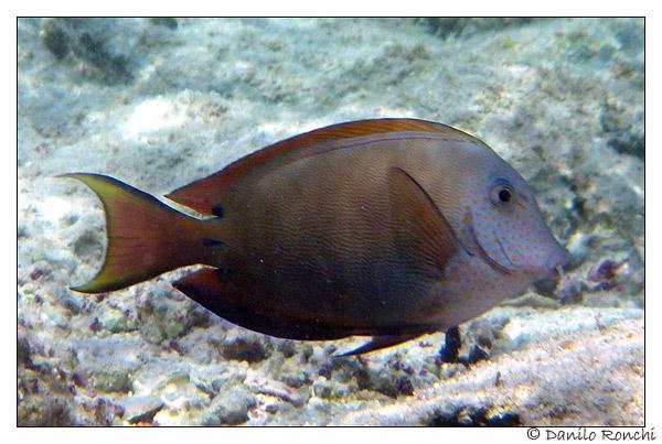 Acanthurus nigrofuscus in Mar Rosso