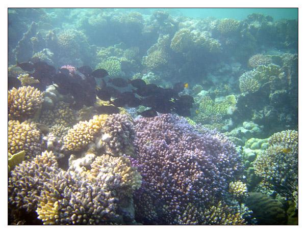 Branco di Acanthurus nigrofuscus in Mar Rosso