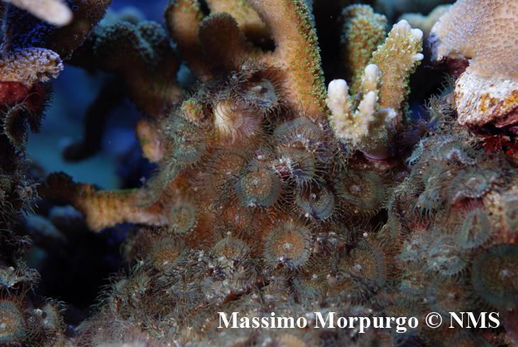 Polipi di Palythoa cf. toxica nell'acquario del paziente intossicato, hanno ricoperto la base di molti coralli duri danneggiandoli