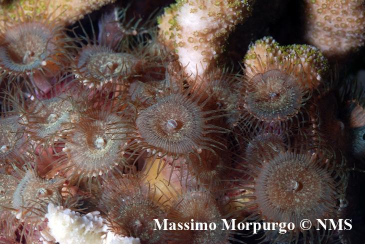 Polipi di Palythoa cf. toxica cresciuti alla base di una Montipora malampaya stanno gradualmente uccidendo il corallo duro.