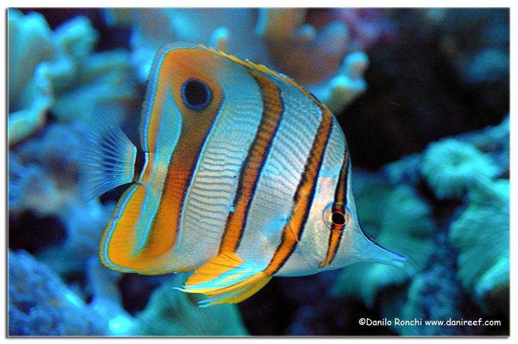 Chelmon rostratus, spesso pescato con il cianuro