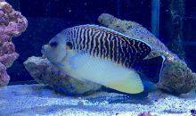 Apolemichthys kingi: Avete 14.000 euro da spendere in un pesce marino?