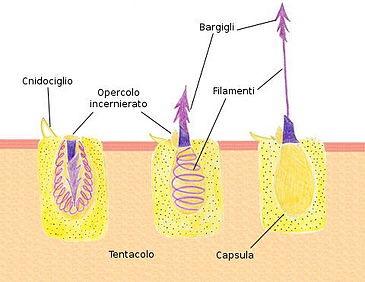 Coralli molli: struttura dei polipi
