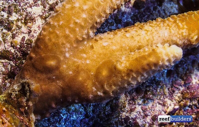 turbellarie che mangiano una Acropora