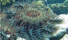 La stella corona di spine minaccia tutti i coralli ma forse…