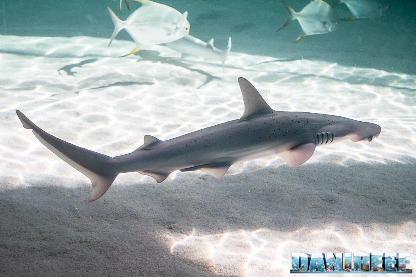 Oceanografic di Valencia: squalo martello