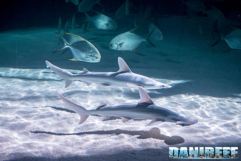 Oceanografic di Valencia: squalo martello e squalo grigio