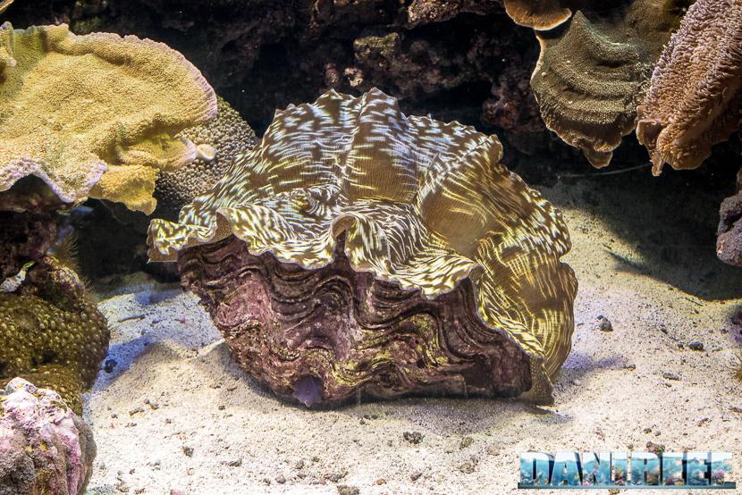 Oceanografic di Valencia: una enorme Tridacna derasa