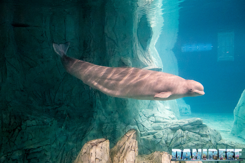 Oceanografic di Valencia: beluga
