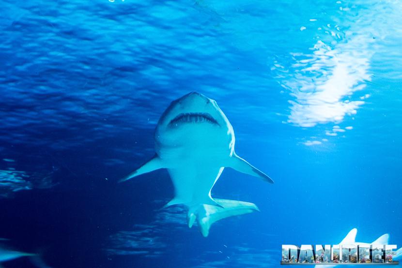 Oceanografic di Valencia: squalo toro