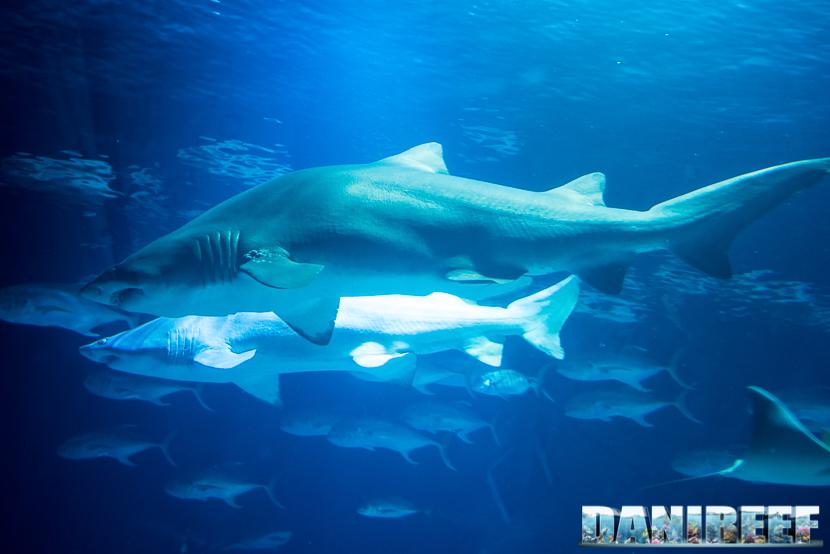 Oceanografic di Valencia: squali toro