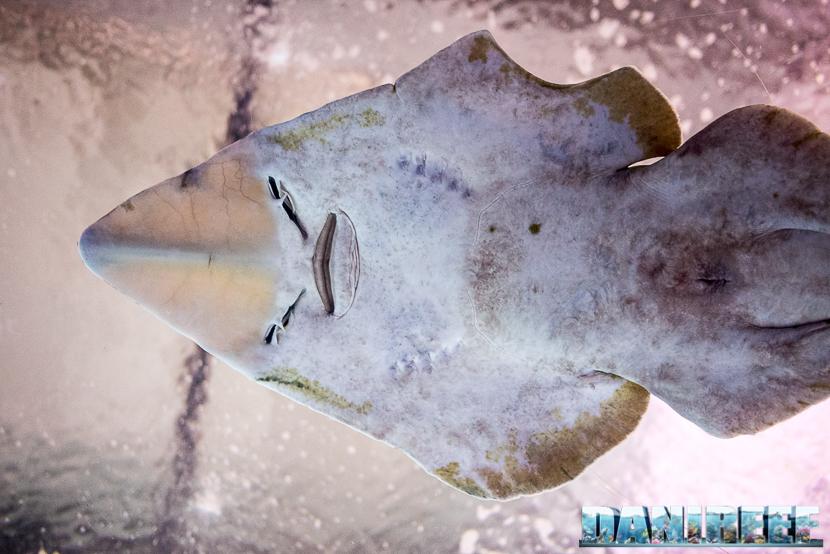 Oceanografic di Valencia: squalo tappeto