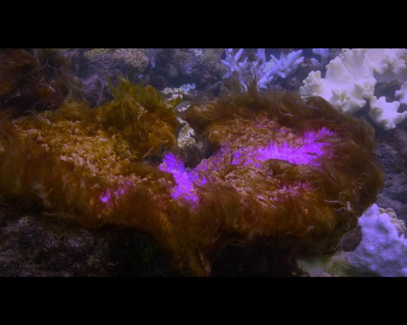 La Recensione di Chasing Coral da parte del portale DaniReef - acropora in sbiancamento