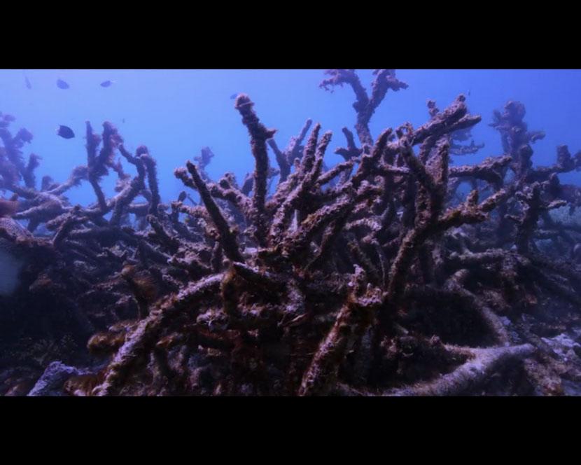 La Recensione di Chasing Coral da parte del portale DaniReef - acropora sbiancata