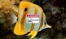 Pesci e cianuro, la lista dei pesci più colpiti, fino al 15% dalle Filippine
