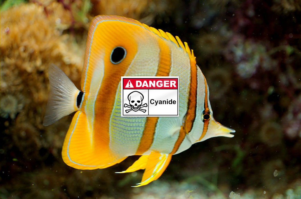 pesci pescati con il cianuro: Chelmon rostratus il re