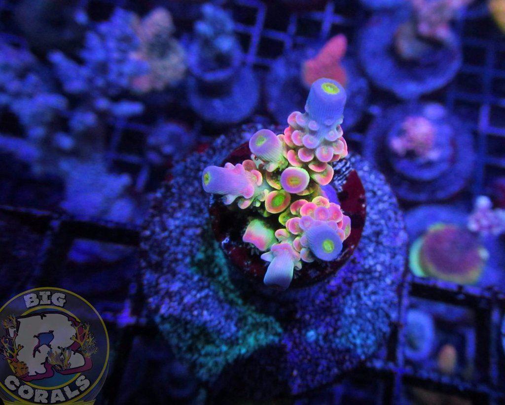 Cellule di Acropora tenuis coltivate in laboratorio, congelate ma ancora vive