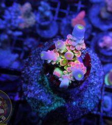 Coralli firmati, moda e acquariofilia (ma quanto sono belli???)