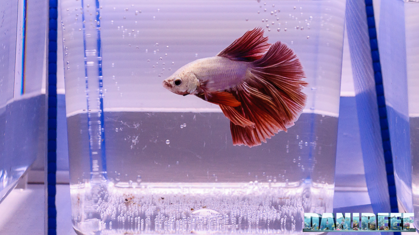 Betta splendens in mostra al PetsFestival 2017
