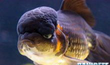 PetsFestival 2017: Goldfish Experience – la mostra dei pesci rossi